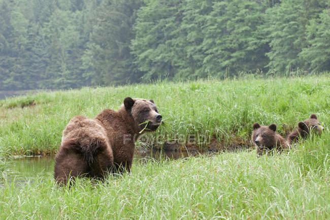 Гризли медведица с медвежатами, наслаждаясь зеленой травы на лугу. — стоковое фото