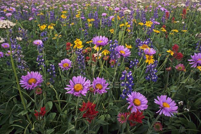 Дикие цветы, растущие летом Трофейные луга Уэллс-Грей Провинциальный парк, Британская Колумбия, Канада — стоковое фото