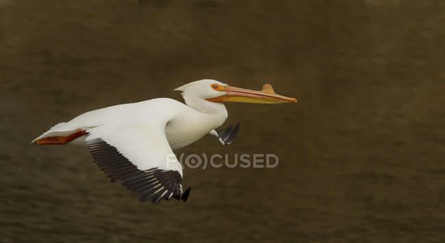 Pellicano bianco americano che volano sopra l'acqua all'aperto. — Foto stock