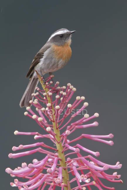 Dal petto rossiccio chat-tiranno appollaiato sul ramo in Perù. — Foto stock