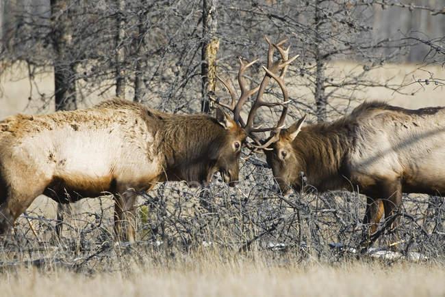 Bull elks fighting for dominance during mating season on