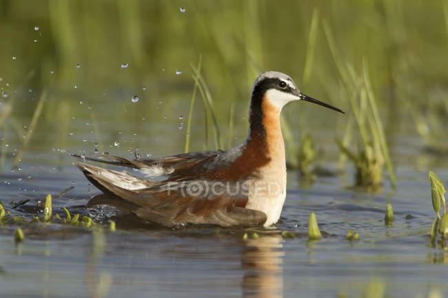 Uccello di Falaropo Wilson nuoto in acqua di palude — Foto stock