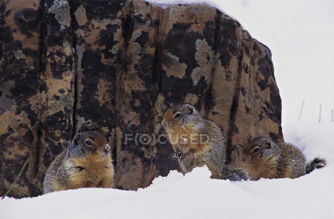 Колумбійських ховрахів замасковані проти рок лишайниками покриті снігом — стокове фото