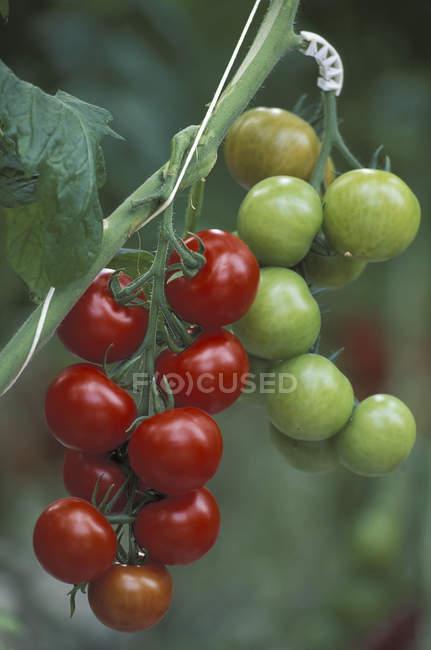 Червоний дозрів і незрілі помідори вирощування у парникових. — стокове фото