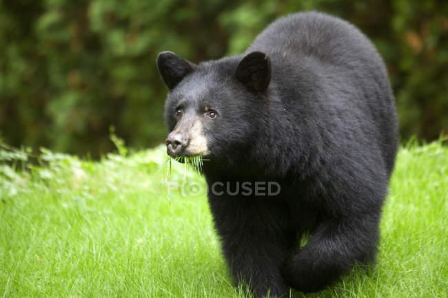 Urso-negro comendo grama na Sunshine Coast em Canadá — Fotografia de Stock