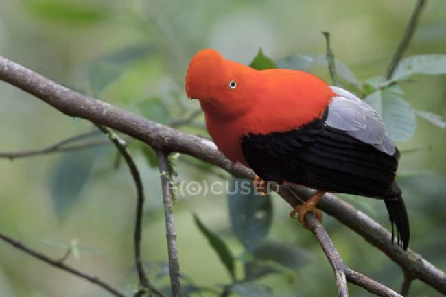 Rupicole andina che si è appollaiato sulla filiale nella foresta del Perù. — Foto stock