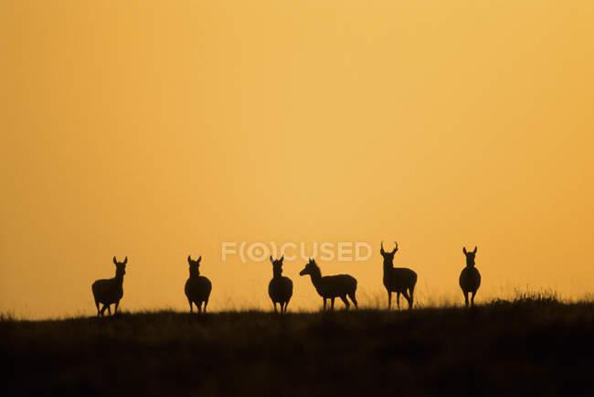 Silhuetas de pronghorns ao pôr do sol em Alberta, Canadá — Fotografia de Stock