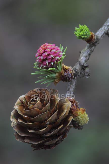 Giovani e vecchi coni del pino sulla filiale di albero, close-up — Foto stock