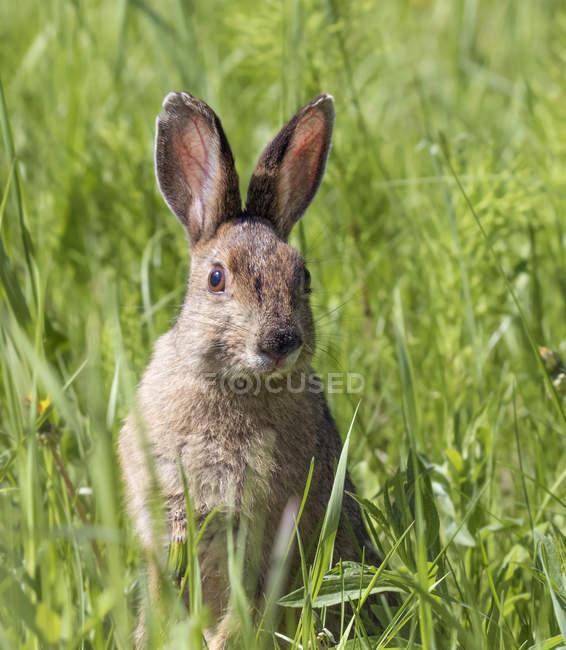 Оповещения на снегоступах заяц, сидя в траве зелёный луг — стоковое фото