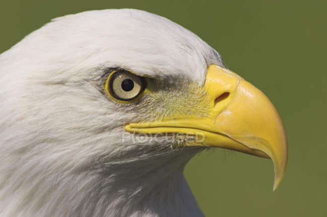Retrato de primer plano de águila calva aves rapaces al aire libre. - foto de stock