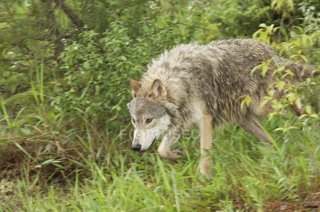 Серый волк в зеленой траве лесистой местности. — стоковое фото