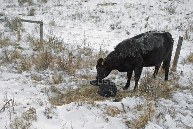 Kuh leckt neugeborenes Kalb im verschneiten Wassertal, Alberta, Kanada. — Stockfoto