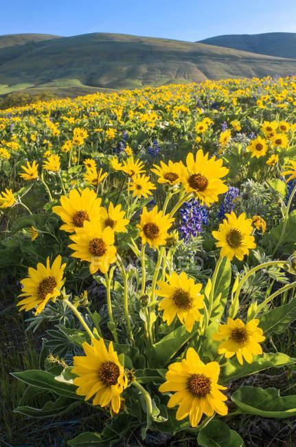 Mezclas balsamroots y altramuces floración en colinas de Columbia, Washington, Usa - foto de stock