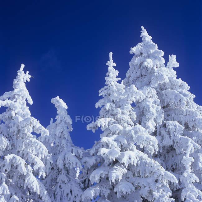 Neve incrustada árvores em Silverstar Mountain Resort perto de Vernon, Colúmbia Britânica, Canadá . — Fotografia de Stock