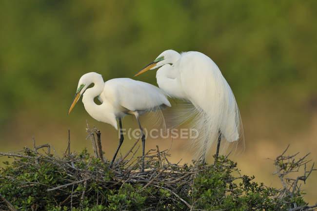 Два білих великі білі чаплі стоячи в гніздо — стокове фото