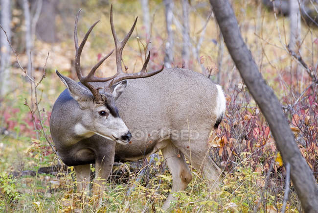 Large Mule Deer buck in autumn forest — Stock Photo