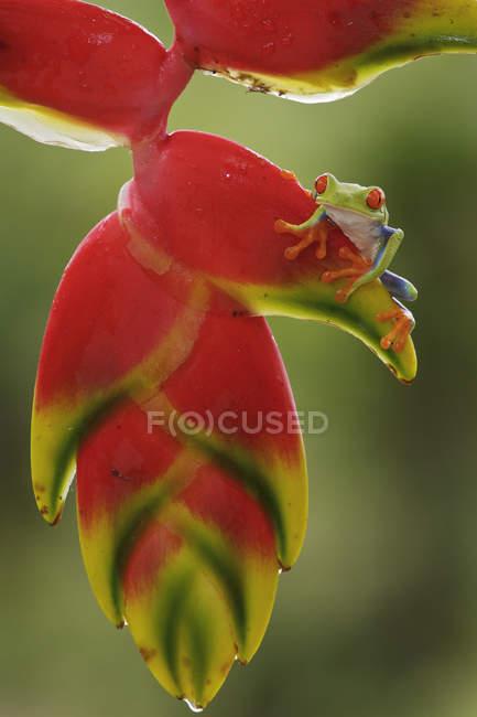 Червоні очі деревна жаба сидить на екзотичних рослин в Коста-Ріці — стокове фото