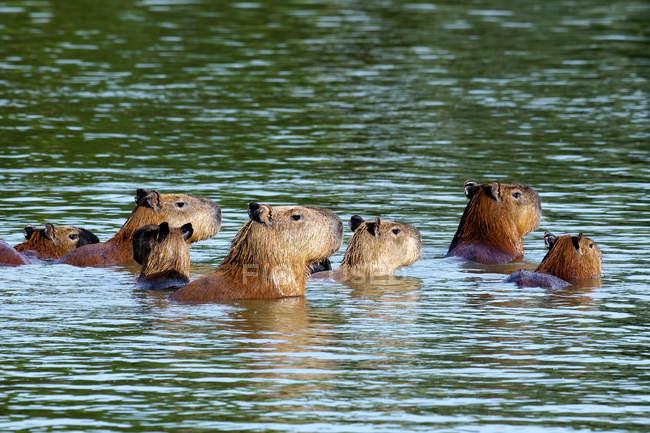 Capybaras плавання у воді в Бразилії, Південна Америка — стокове фото