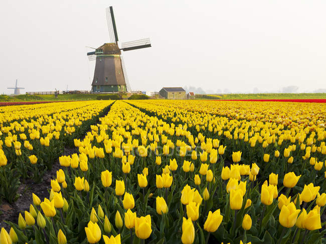 Windmill and yellow tulips field near Obdam, North Holland, Netherlands — Stock Photo