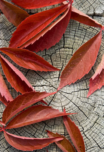 Close-up of red leaves on wooden stump — Stock Photo