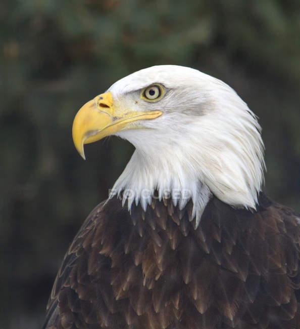 Vista de pájaro del águila calva sentado al aire libre. - foto de stock