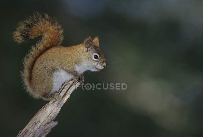 Vista lateral do esquilo-vermelho sentado na madeira ao ar livre — Fotografia de Stock