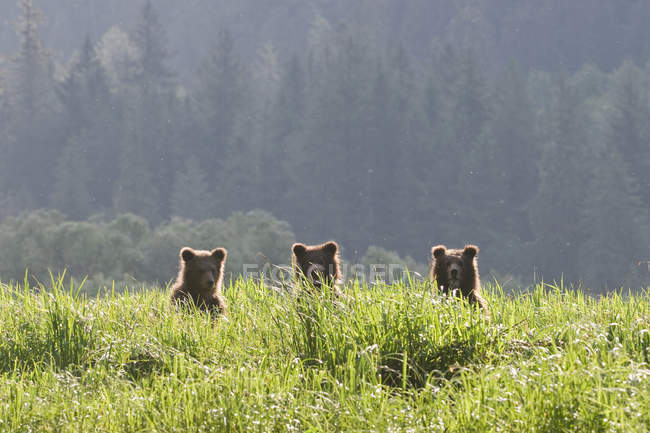 Три Гризли детенышей, стоя в зеленой траве. — стоковое фото