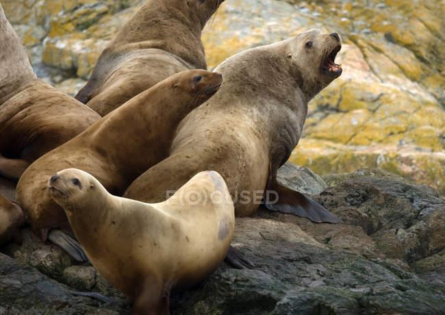 Steller leone marino su Trail Island, Canada — Foto stock