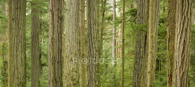 Tronchi di abeti di Douglas di Cathedral Grove, Macmillan Provincial Park, Columbia britannica, Canada — Foto stock
