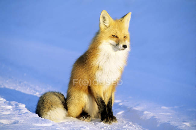 Renard roux Adult assis sur la neige au soleil. — Photo de stock