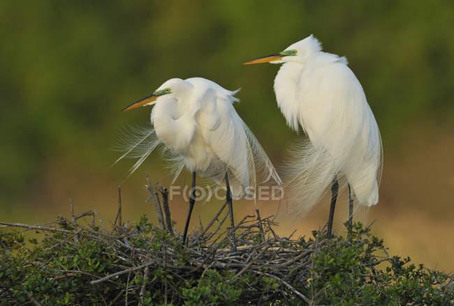 Due grandi egrets bianchi in piedi nel nido — Foto stock