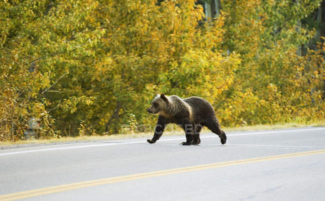 Grizzly bear crossing highway in autumnal Waterton Lakes national park, Canada. — Stock Photo