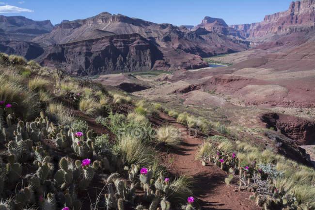Кактусы опунции Мохаве в засушливых ландшафт Таннер тропа, Гранд-Каньон, Аризона, Соединенные Штаты Америки — стоковое фото