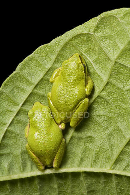 Close-up of green Pacific tree frogs sitting on plant leaf. — стокове фото