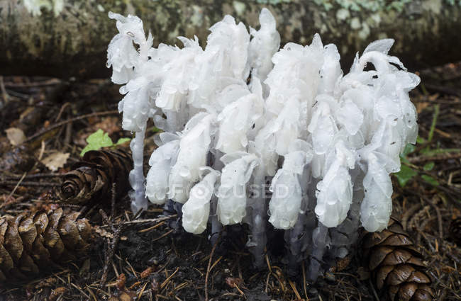 Ghost herbaceous perennial plants growing in forest — стокове фото