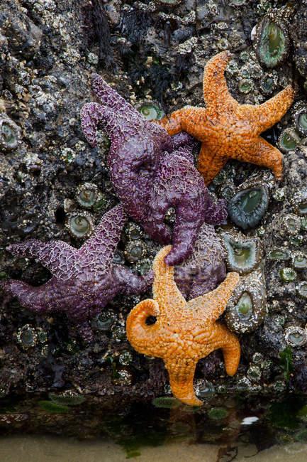 Close-up of Pisaster ochraceus purple sea stars and ochre sea stars at Cannon Beach, Oregon, USA. — Stock Photo