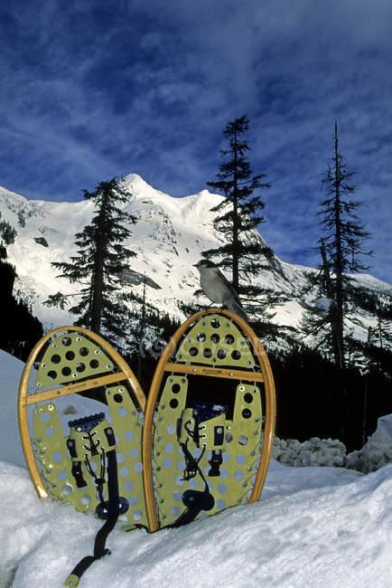 Ghiandaia grigia seduta sulle ciaspole a Zopkios Ridge, Coquihalla summit, British Columbia, Canada — Foto stock