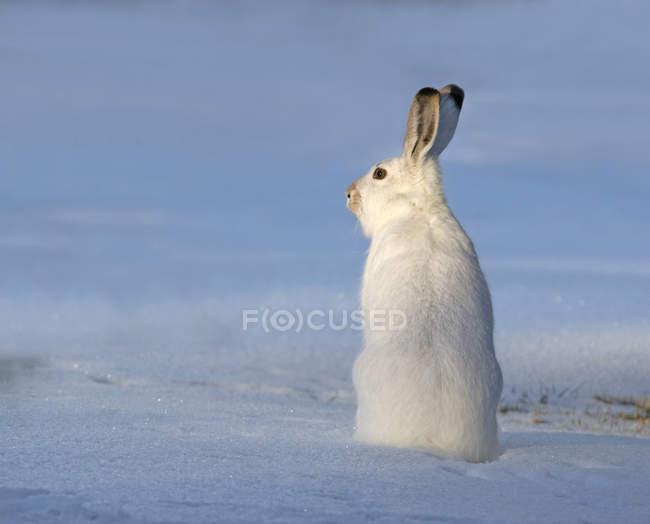 Заяц на снегоступах в снег области Северной Америки — стоковое фото