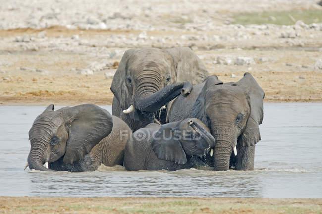 Elefanti africani che bevono alla pozza d'acqua nel Parco Nazionale di Etosha, Namibia — Foto stock