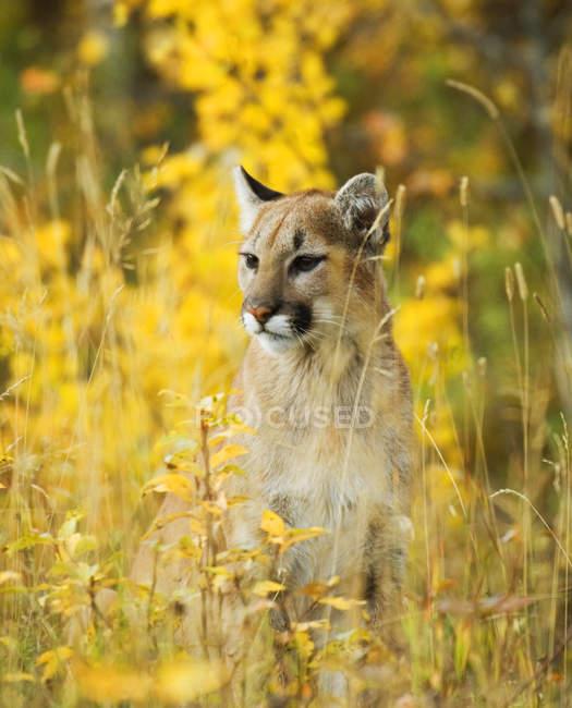 Jugendlicher Puma sitzt in blumiger Wiese, Nahaufnahme. — Stockfoto