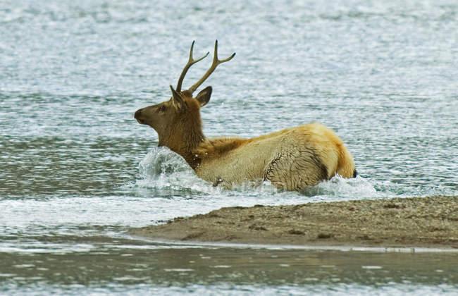 Juvenile elk entering lake water in Waterton Lakes National Park, Alberta, Canada. — стокове фото