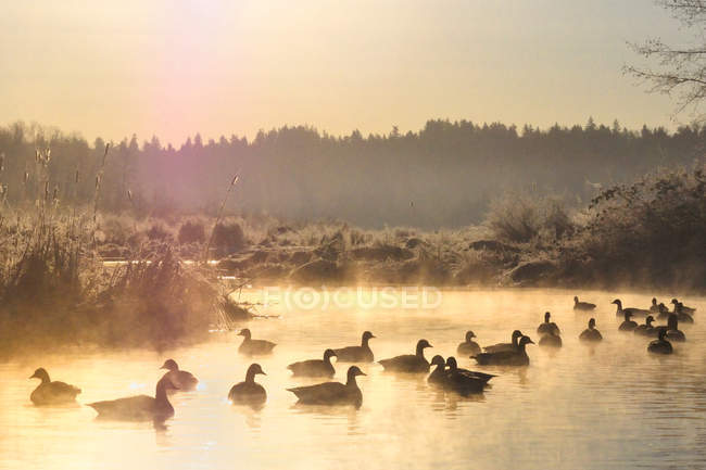 Canada geese swimming on water at sunset in Burnaby Lake Regional Park, British Columbia, Canada — Stock Photo