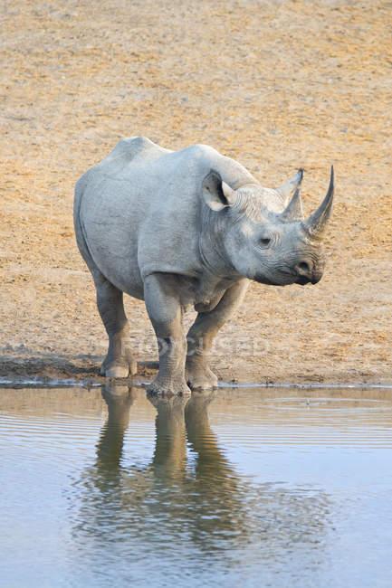 Endangered black rhinoceros at water hole in Etosha National Park, Namibia — Stock Photo