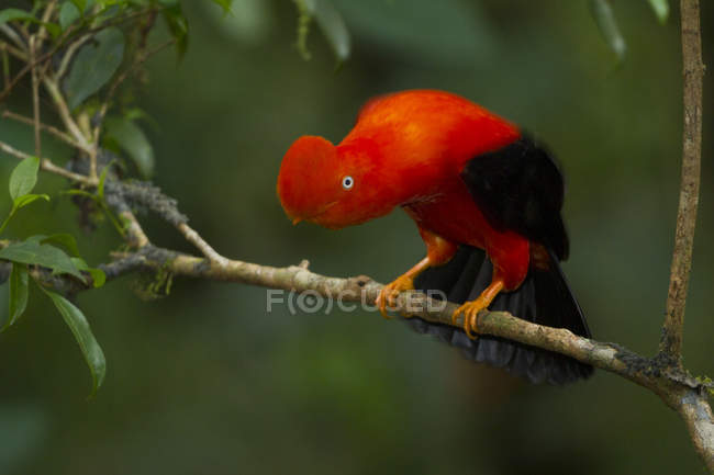 Gallito de posado en la rama en el bosque de Perú. - foto de stock