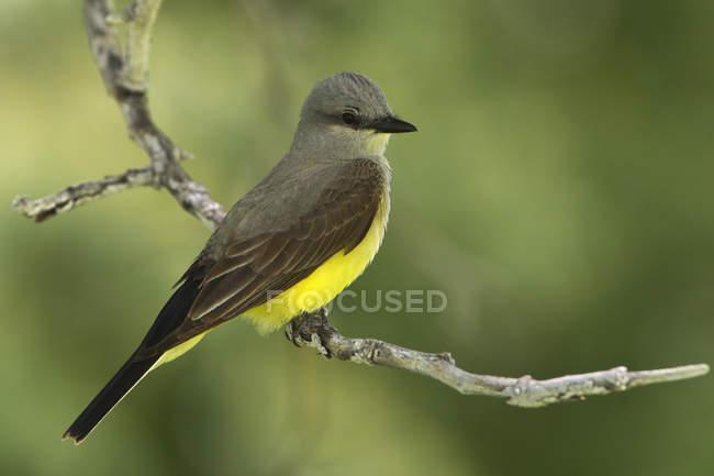 Західні kingbird на окуня на парк, Закри — стокове фото