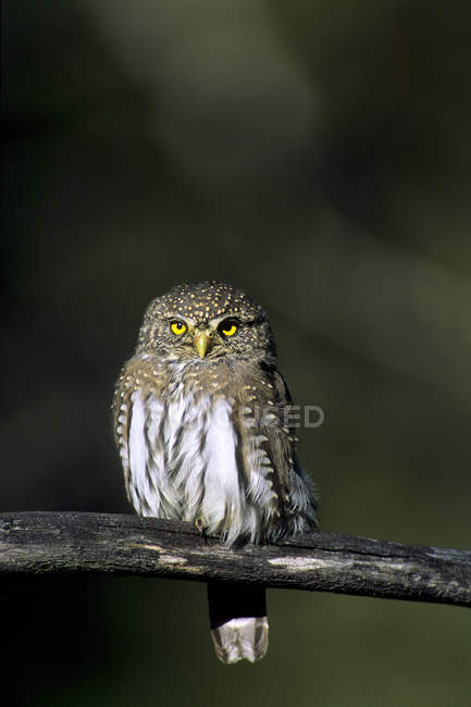 Adult northern pygmy owl perched on dry tree branch. — Stock Photo