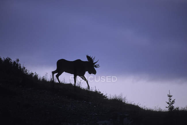 Silhouette d'orignal marchant sur la colline du Parc National des Lacs Waterton, Alberta, Canada — Photo de stock