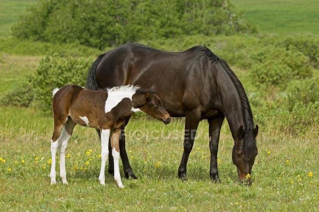 Pferd mit Fohlen grasen auf der Weide auf der Ranch in Alberta, Kanada — Stockfoto