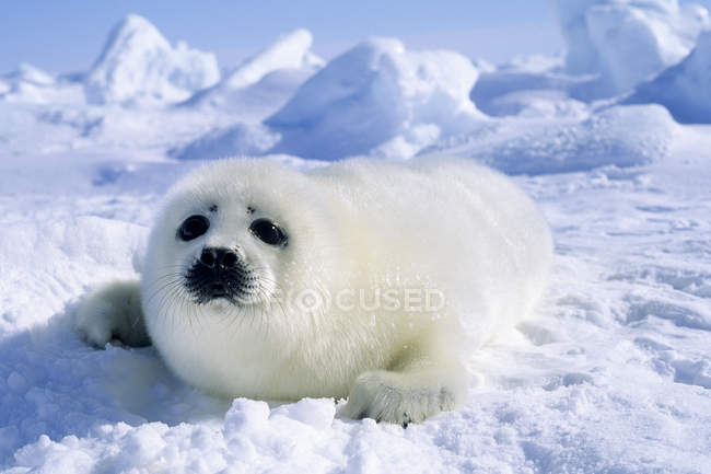 Young harp seal pup lying on arctic snow. — Stock Photo