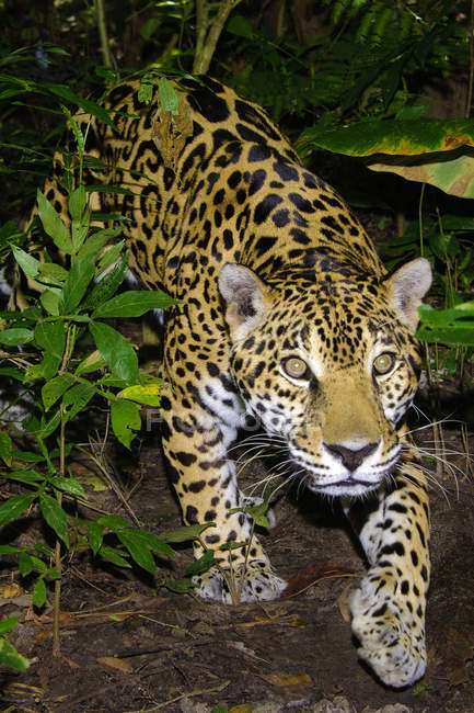Jaguar en la selva tropical, Belice, Centroamérica - foto de stock
